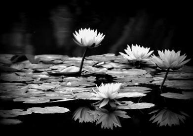 black-and-white-water-lily-jose-medina[1]